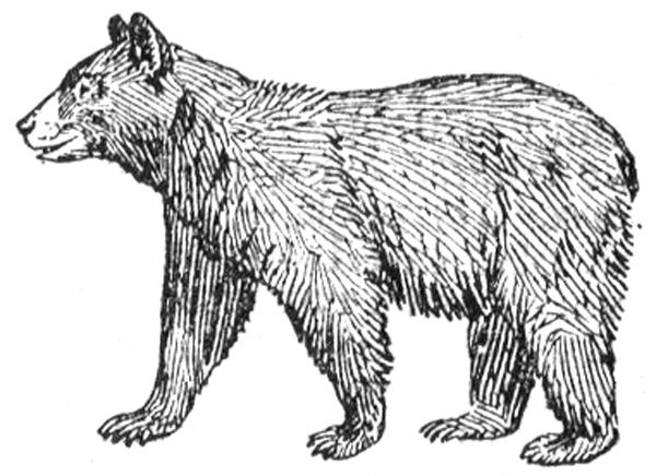 Bear - Black